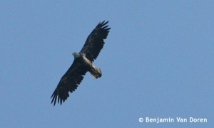 A Bald Eagle soaring overhead. Doodletown, NY.